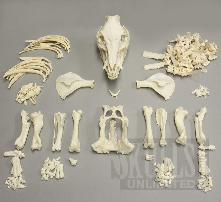 Skelet varken (hangbuikzwijn) Sus Scrofa