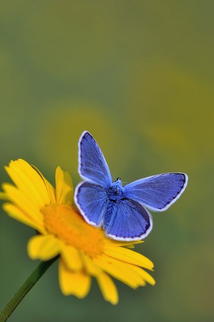Argus bleu (Polyommatus icarus) Common Blue