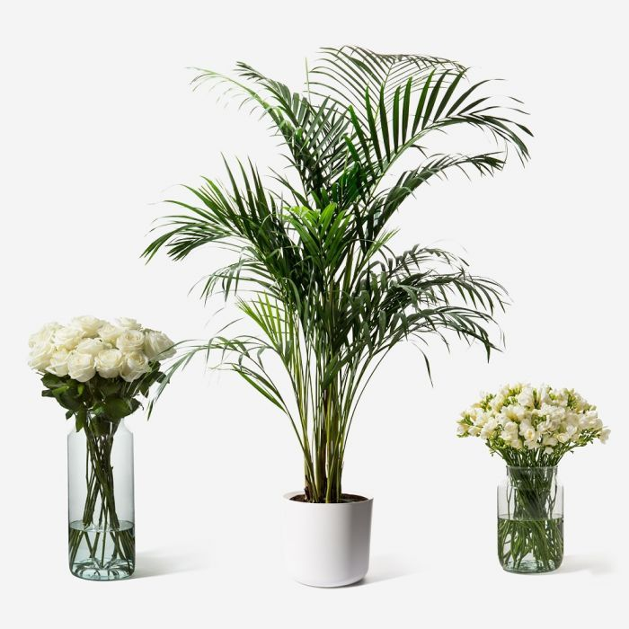 Best 25 indoor palms ideas on pinterest big plants big for Areca palm safe for cats