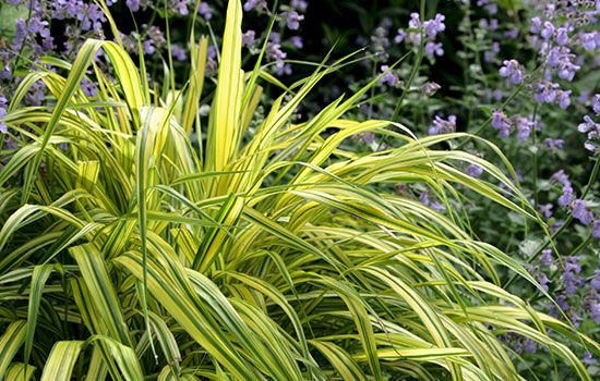 1207 best ornamental grasses images on pinterest for Ornamental grasses for small spaces