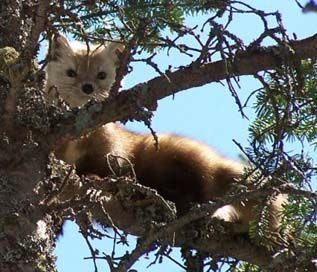 American marten, photo courtesy of David Govatski