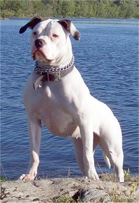 American Bulldog      The American Bulldog is a breed of working dog that was developed in the United States. There are generally considered to be three types of American bulldog: the Bully or Classic type, the Standard or Performance type, and the Hybrid type. Wikipedia