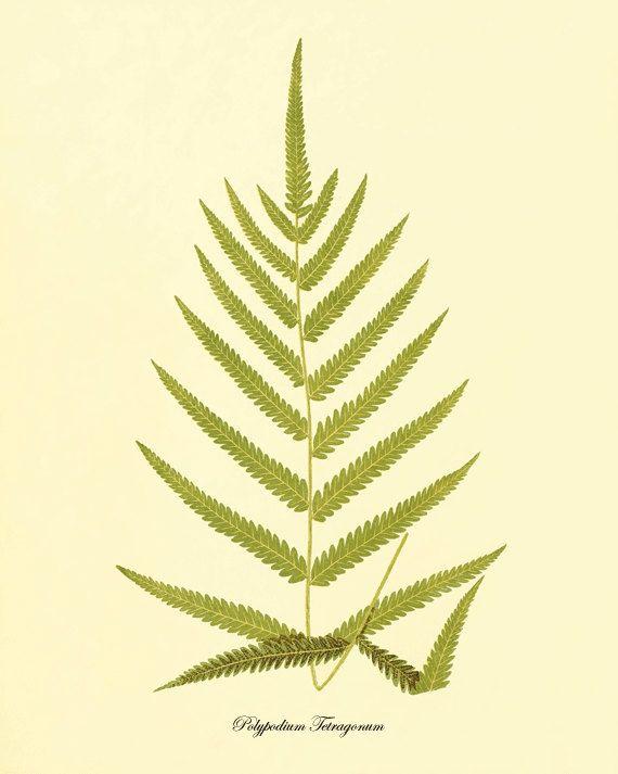 26 best Ferns images on Pinterest | Ferns, Exotic and Botanical ...