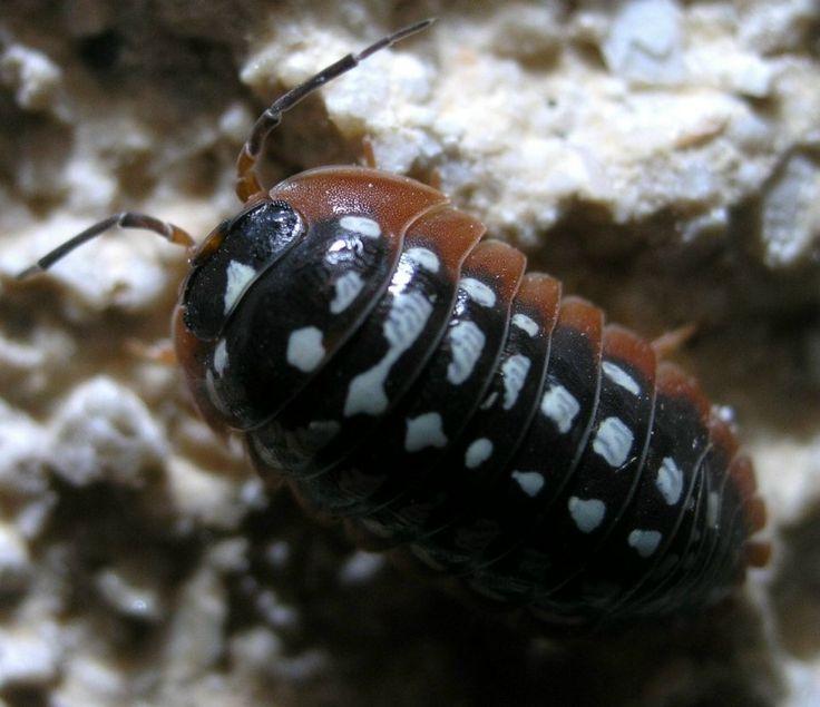 Asseln auf Korfu (Mai 2011) - Crustacea, Asseln und andere Krebstiere - Insektenfotos.de-Forum