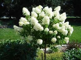 Click to view full-size photo of Limelight Hydrangea (tree form) (Hydrangea paniculata 'Limelight (tree form)') at Bachman's Landscaping
