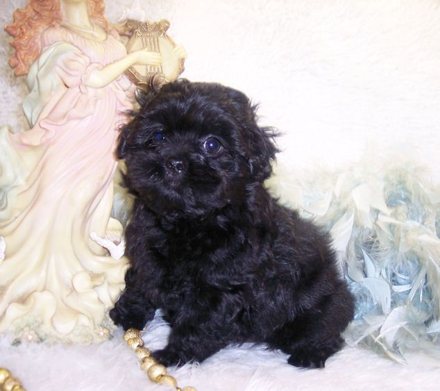 Shih Tzu Mix Puppies For Sale May 9 At 5 27pm Black Male Teddy Bear Shorkie Puppies For Sale A Shorkie Tiny Dogs For Sale Shorkie Puppies Puppies For Sale