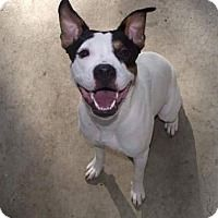 Boxer/Pit Bull Terrier Mix Dog for adoption in New York, New York - Katina
