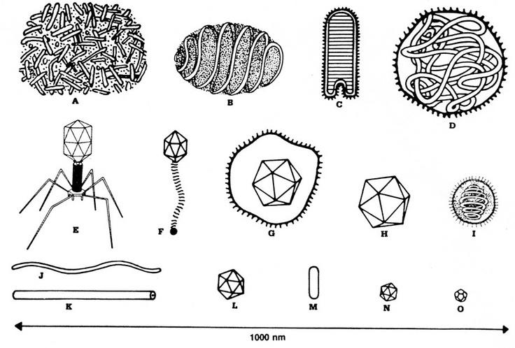 Virus shapes / types