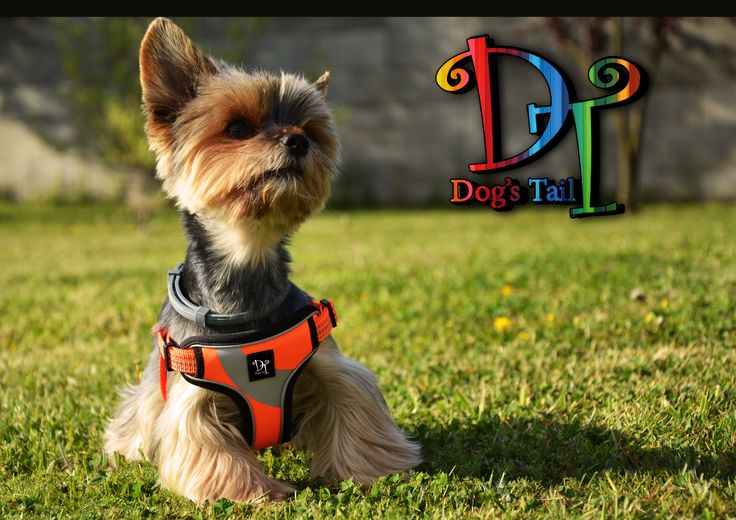 Yorkshire terrier harness, yorkie