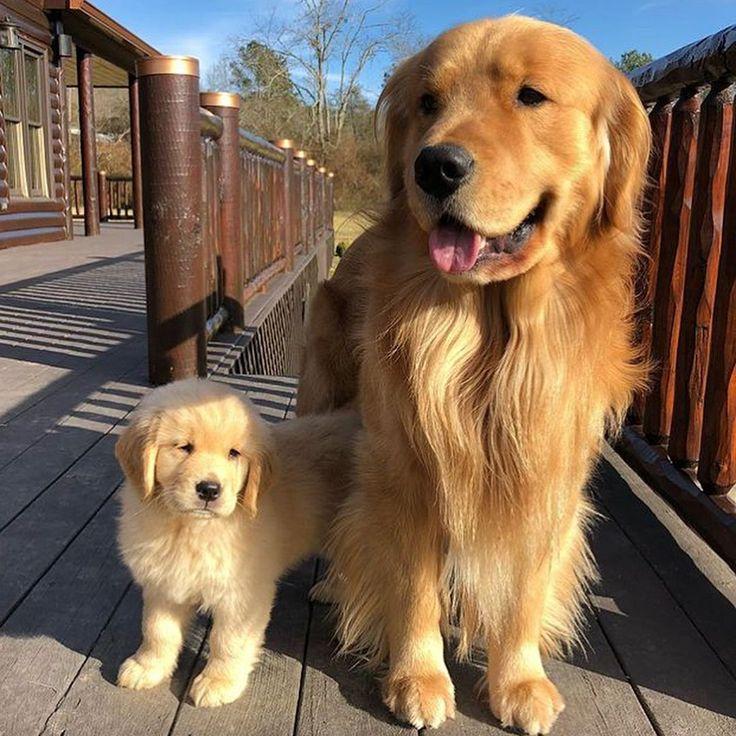 "98.6k Likes, 1,479 Comments - Golden Retrievers (@goldenretrievers) on Instagram: ""10 Big/Little Duos ❤️ Follow them @wedontretrievegold @pnwgoldenboys @todandvixey_…"" #SavannahCat #goldenretriever"
