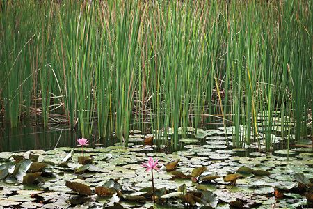 What to plant around your pond to prevent erosion and for Pond grass plants