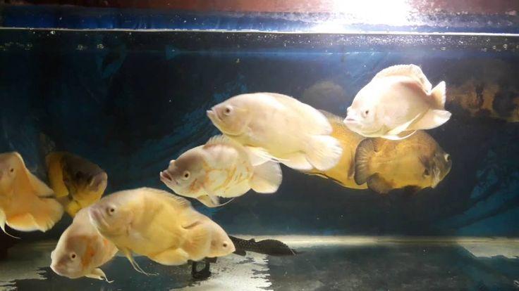 oscar fish food