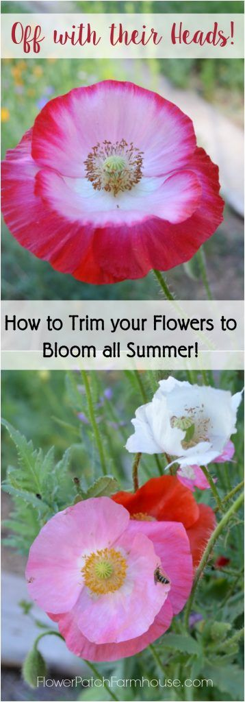 How to Deadhead your Cottage Garden Flowers for continuous bloom until first frost.  It is so easy and rather relaxing.  Take a morning walk in the garden with your pruners and Off with their Heads!