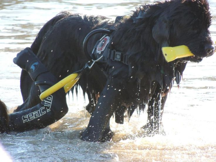 Hard at work...this is what Newfies do and love Rescue!