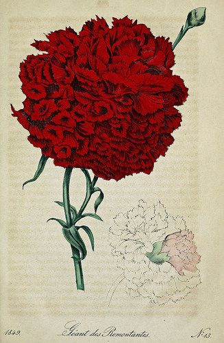 Carnation Géant des Remontantes. Dianthus caryophyllus. Some of the longest lasting cut flowers with a sweet, spicy fragrance. Traditionally a symbol of romantic love. Deutsches Magazin fur Garten- und Blumenkunde; Stuggart, G. Weise. (1849)