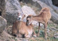 Heute in Deutschland kaum natürliche Feinde. Lediglich schwache Lämmer werden häufiger von Fuchs, Waschbär, Wildkatze oder Wildschwein gefre...