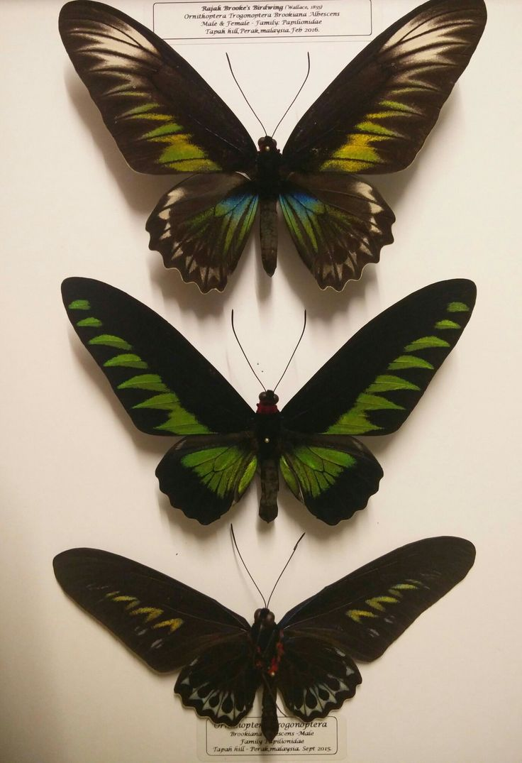 Brooks birdwing
