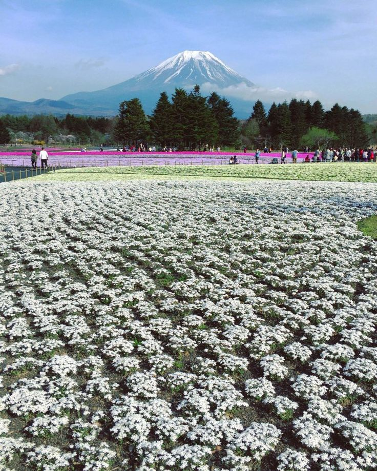 Looking at these photos of Mount Fuji covered in flowers – while they might fill you with floral envy – is pretty much the equivalent of having a sunny picnic in the park. Kind of.
