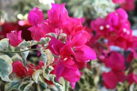 A wide assortment of Bougainvillea available from the QLD Garden Expo