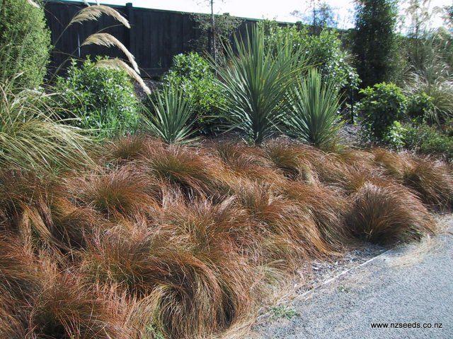 Carex testacea - nzseeds.co.nz - international seed sales