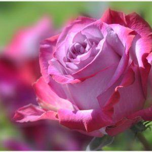 Pink Rose Flower Wallpaper | beautiful pink rose flower wallpaper, download pink rose flower wallpaper, pink rose floral wallpaper, pink rose flower wallpaper, pink rose flowers wallpapers for desktop