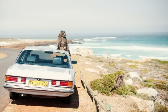 Baboon Sitting on Old Merc on Coastal Road Cape Town Location.