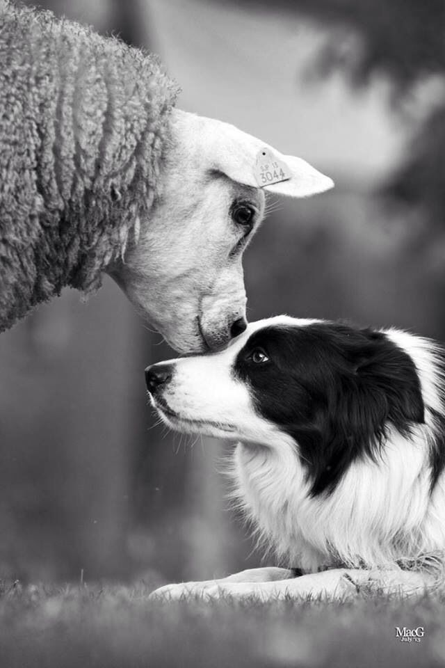 ...and sometimes - the 'sheep' need to check on 'the shepherds.' What a picture this is! Worth a 1000 words! <3  :))) 25Dec2016