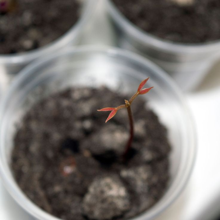Первые настоящие листочки у сеянца личи