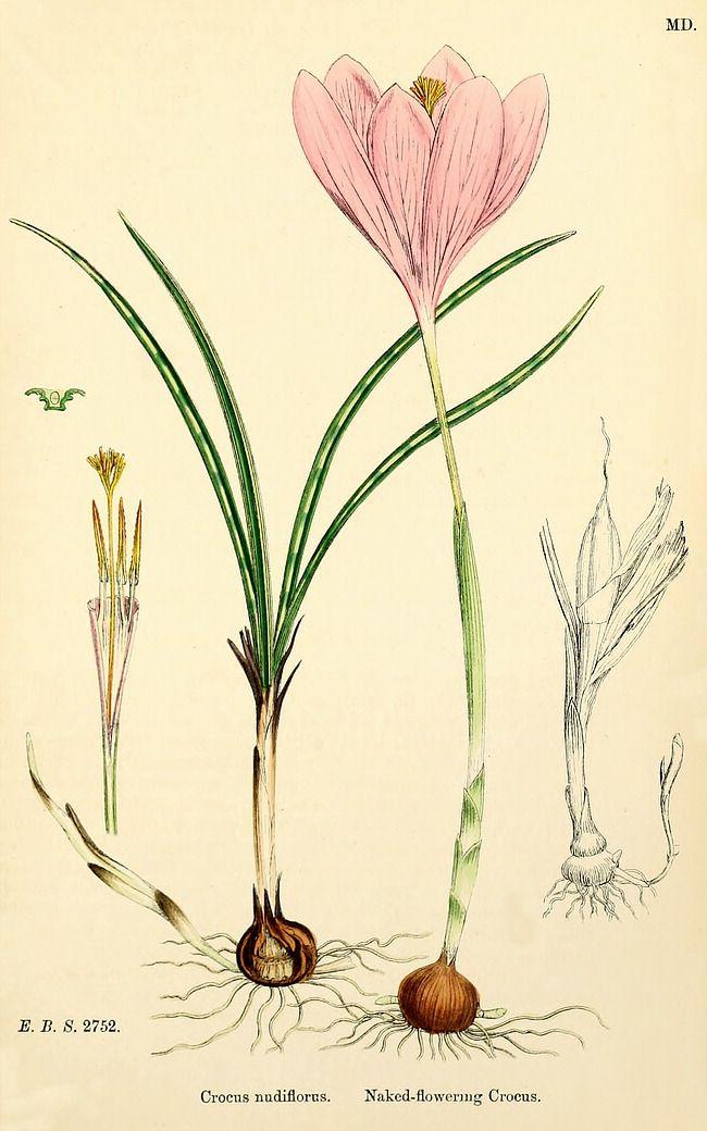 Crocus nudiflorus botanical print