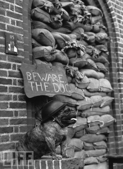 Wearing a steel helmet, a bulldog guards a London flat. Stubborn but lovable, bulldogs became a symbol of the United Kingdom itself.