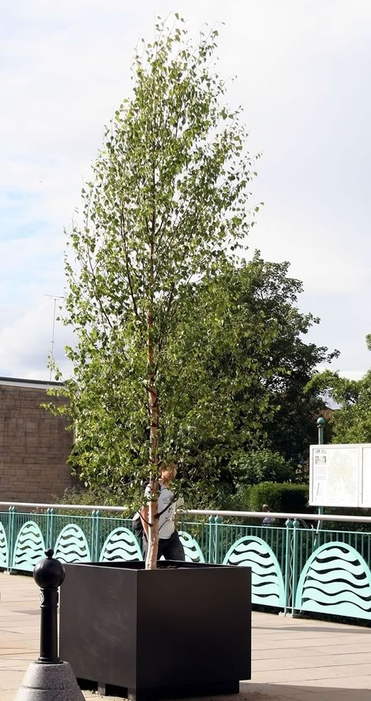 Large full feathered Birch Tree Chippenham town centre