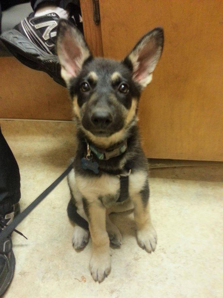 filhote de cachorro pastor alemão..