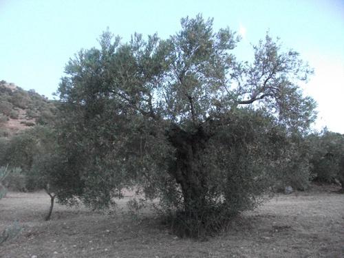 Adoptar olivos - Olive Tree AdoptionOlive Trees, Trees Adoption