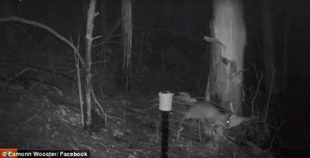 Cámara nocturna reveló extraña criatura en el bosque. Están desesperados tratando de saber qué es