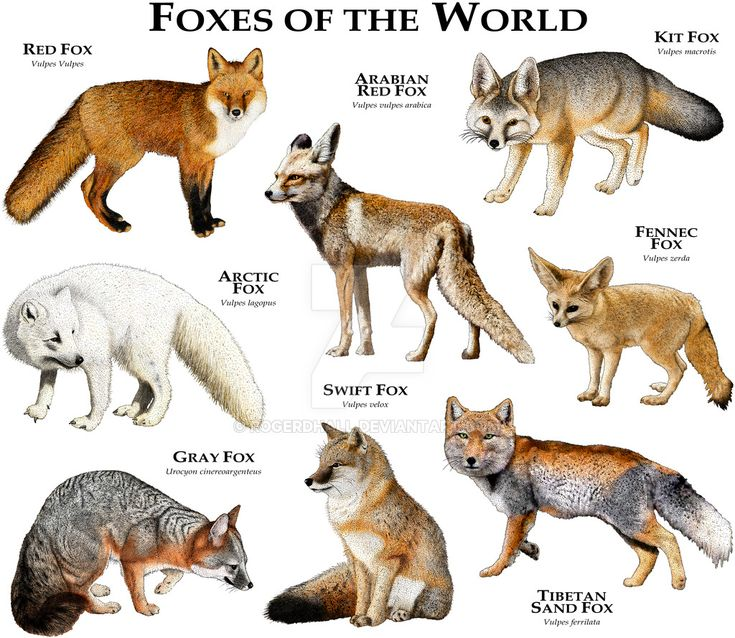 Foxes of the World by rogerdhall.deviantart.com on @DeviantArt