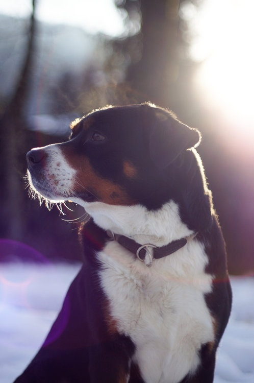 17 best images about greater swiss mountain dog on pinterest entlebucher mo. Black Bedroom Furniture Sets. Home Design Ideas