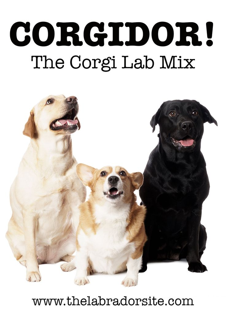 Corgi Lab Mix - Find out what the Corgidor is really like