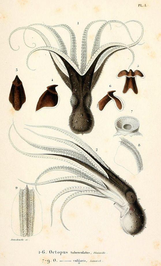 Scientific Illustration   biomedicalephemera: Limbs of the Cephalopoda ...