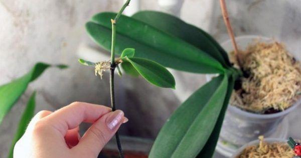 Мои орхидеи — моя гордость! Размножаю их одним секретным способом… — Мир Растений