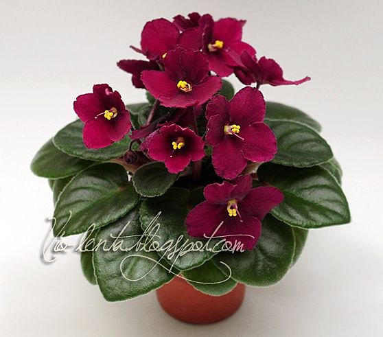 african violet 39 jolly mars 39 is a small one i got leaves put down on 10 03 15 that now has leaf. Black Bedroom Furniture Sets. Home Design Ideas