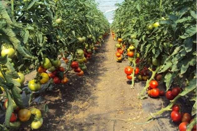 Producătorii agricoli din România vor fi sustinuti printr-un program guvernamental să cultive tomate în spatii protejate (sere, solarii)