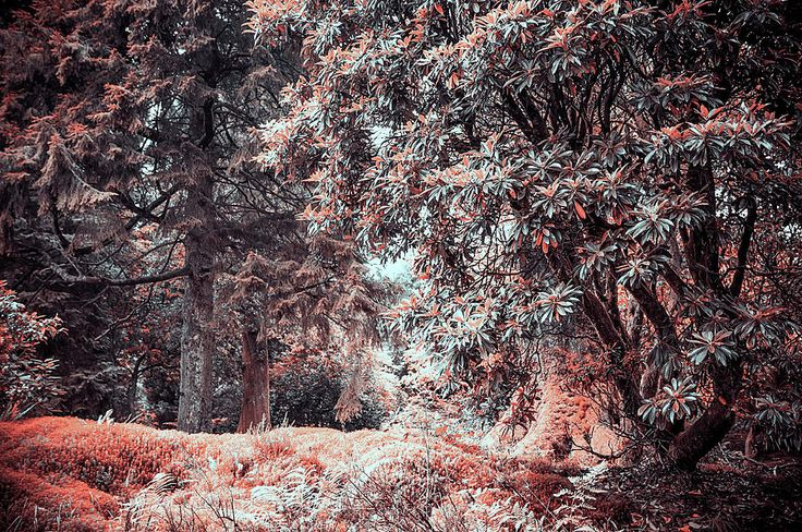 Rhododendron In Benmore Botanic Garden. Nature In Aline Skin by Jenny Rainbow