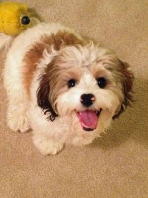91 best images about cavachons on pinterest. Black Bedroom Furniture Sets. Home Design Ideas