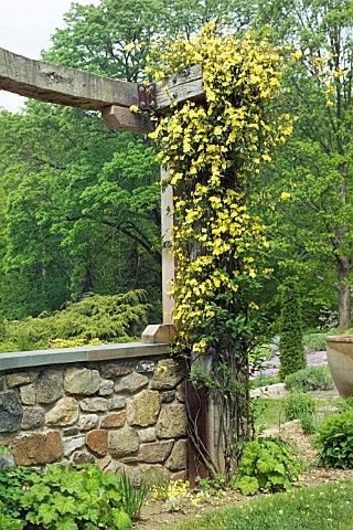 carolina jessamine (a.k.a. yellow jasmine) -- is deer resistant, would look great on our trellis' in the front.