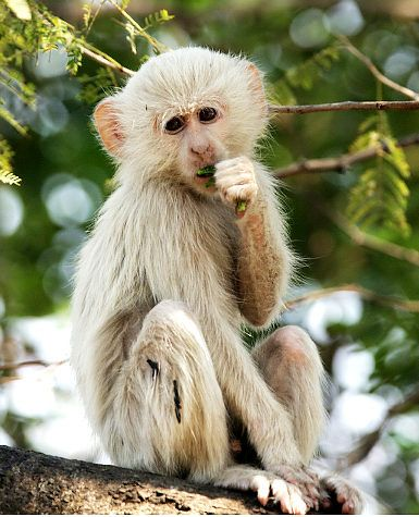 Seltener Albino-Affe   – cute animal stuff