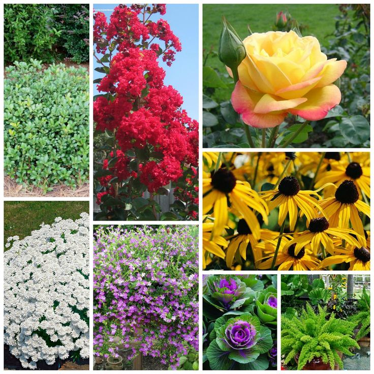 landscaping idea. Red crepe myrtle, yellow/pink rose, hawthorn bush, candy tuft (small white flowers), mexican heather, ornamental cabbages, foxtail ferns, black-eyed susans.