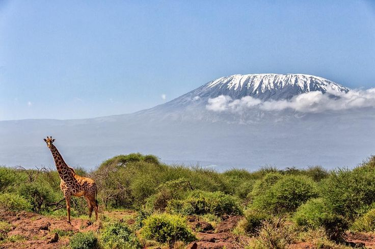This giraffe was watching us ehen we were driving away from Amboseli #Kenya. The clouds had parted and the mount Kilimanjaro made up a perfect background for the beautiful giraffe. So we just had to stop to take some pictures!