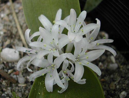 Polyxena ensifolia
