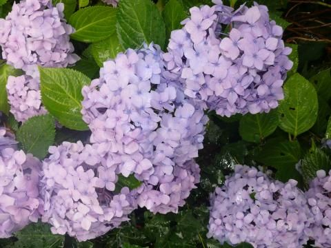 Hortensie Endless Summer