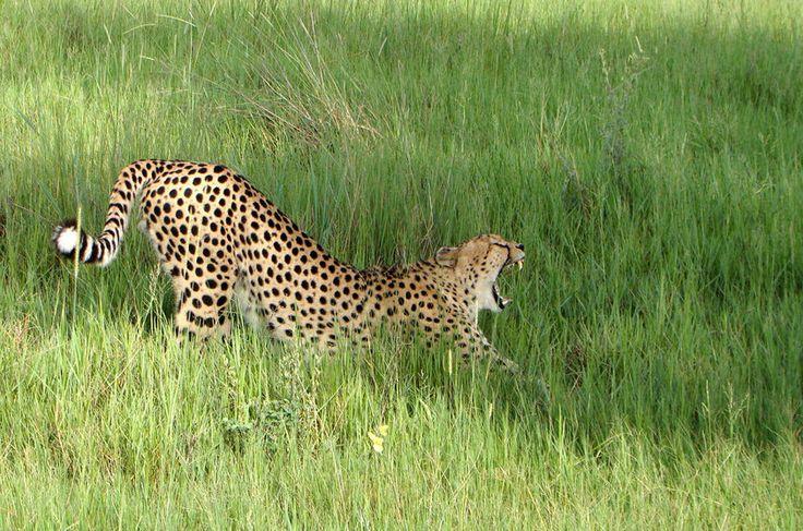 O guepardo (Acinonyx jubatus) é o mamífero terrestre mais rápido do planeta e tem uma alta taxa de sucesso na captura de presas. Esse fato não é visto com bons olhos pelos fazendeiros, que frequentemente matam os animais para proteger seus rebanhos. A competição com outras espécies também são ameaças ao felino. Em algumas áreas a mortalidade de filhotes chega a 95%, a maioria por causada por leões . Status na IUCN (União Internacional para a Conservação da Natureza, na sigla em inglês)…